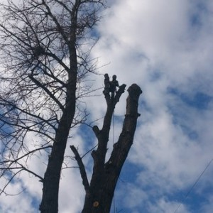 дерево 170 см в диаметре на уровне груди